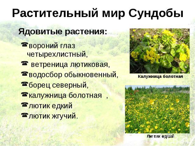 Растительный мир Сундобы Ядовитые растения: вороний глаз четырехлистный, ветреница лютиковая, водосбор обыкновенный, борец северный, калужница болотная , лютик едкий лютик жгучий. Калужница болотная Лютик едкий