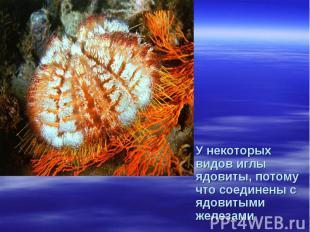 У некоторых видов иглы ядовиты, потому что соединены с ядовитыми железами