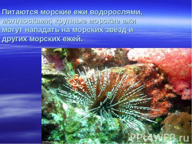Питаются морские ежи водорослями, моллюсками; крупные морские ежи могут нападать на морских звёзд и других морских ежей.