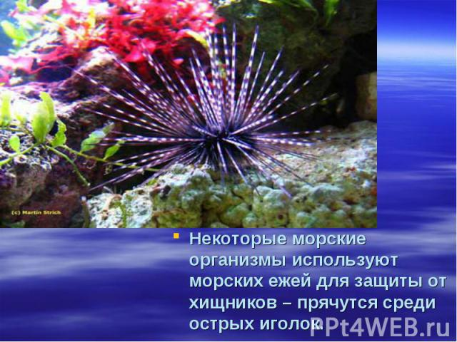 Некоторые морские организмы используют морских ежей для защиты от хищников – прячутся среди острых иголок.