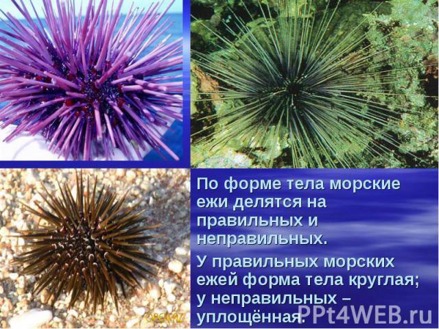 По форме тела морские ежи делятся на правильных и неправильных. У правильных морских ежей форма тела круглая; у неправильных – уплощённая.