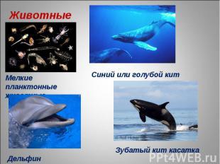 Животные Мелкие планктонные животные Синий или голубой кит Дельфин Зубатый кит к