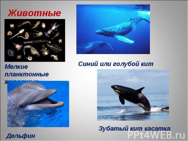 Животные Мелкие планктонные животные Синий или голубой кит Дельфин Зубатый кит касатка