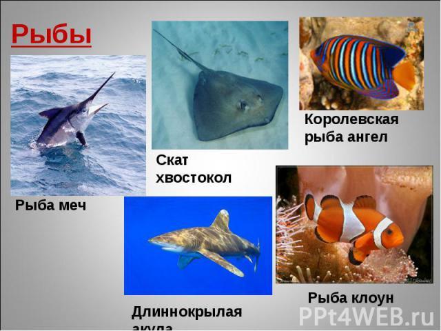 Рыбы Рыба меч Скат хвостокол Королевская рыба ангел Длиннокрылая акула Рыба клоун