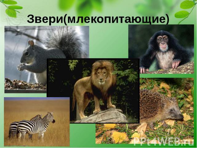 Звери(млекопитающие)