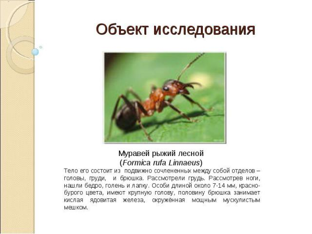 Объект исследования Муравей рыжий лесной (Formica rufa Linnaeus) Тело его состоит из подвижно сочлененных между собой отделов – головы, груди, и брюшка. Рассмотрели грудь. Рассмотрев ноги, нашли бедро, голень и лапку. Особи длиной около 7-14 мм, кра…