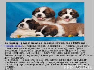 Сенбернар - родословная сенбернара начинается с 1660 года Породы собак Сенбернар