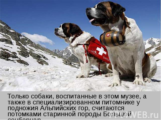 Только собаки, воспитанные в этом музее, а также в специализированном питомнике у подножия Альпийских гор, считаются потомками старинной породы Большой сенбернар.