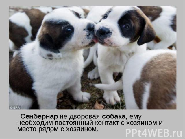 Сенбернар не дворовая собака, ему необходим постоянный контакт с хозяином и место рядом с хозяином.