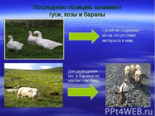Последнюю позицию занимают гуси, козы и бараны Гусей не содержат из-за отсутстви