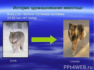 История одомашнивания животных Волк стал первым спутником человека- 10-15 тыс.ле