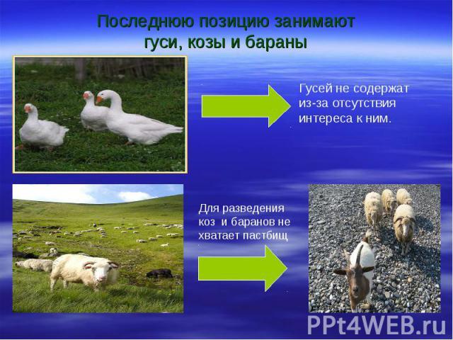 Последнюю позицию занимают гуси, козы и бараны Гусей не содержат из-за отсутствия интереса к ним. Для разведения коз и баранов не хватает пастбищ