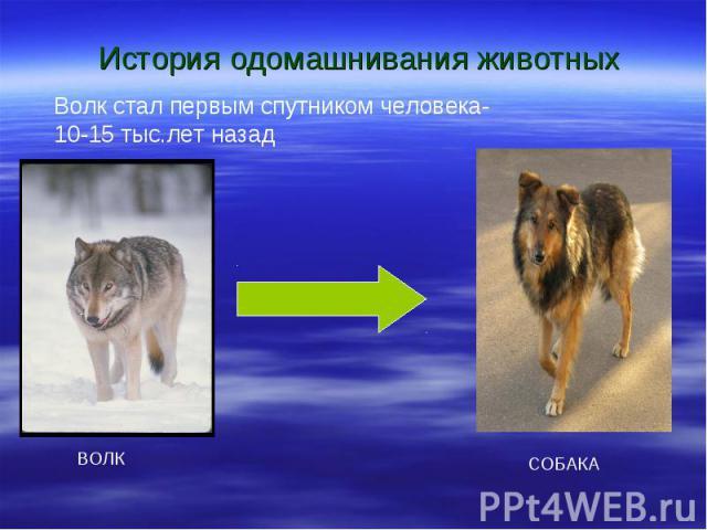 История одомашнивания животных Волк стал первым спутником человека- 10-15 тыс.лет назад