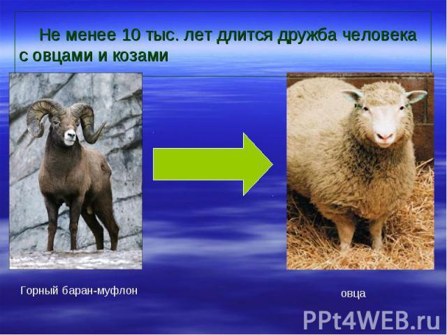 Не менее 10 тыс. лет длится дружба человека с овцами и козами