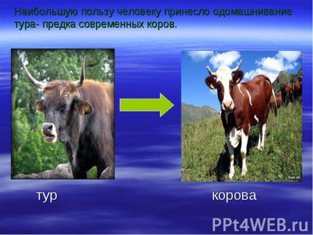 Наибольшую пользу человеку принесло одомашнивание тура- предка современных коров.