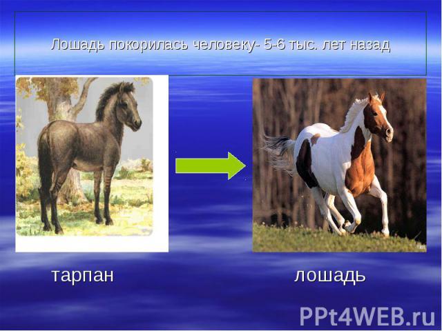 Лошадь покорилась человеку- 5-6 тыс. лет назад