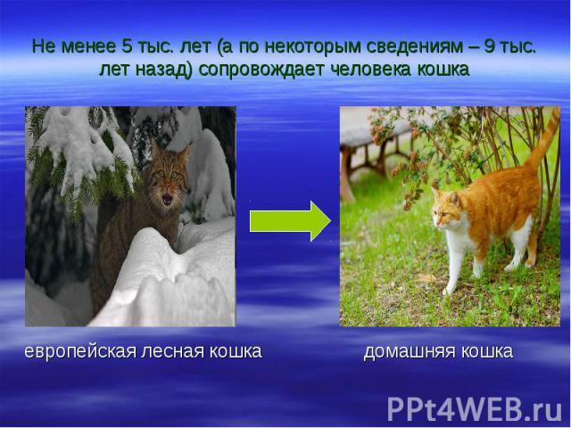 Не менее 5 тыс. лет (а по некоторым сведениям – 9 тыс. лет назад) сопровождает человека кошка