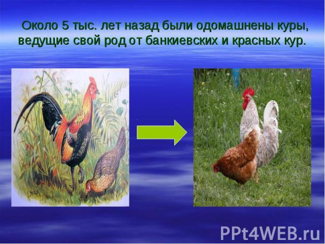 Около 5 тыс. лет назад были одомашнены куры, ведущие свой род от банкиевских и красных кур.