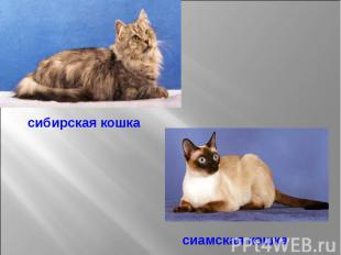 сибирская кошка сиамская кошка
