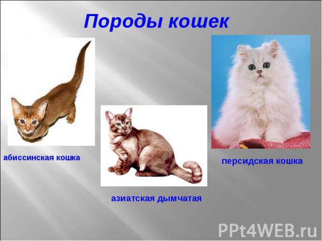 Породы кошек абиссинская кошка азиатская дымчатая персидская кошка