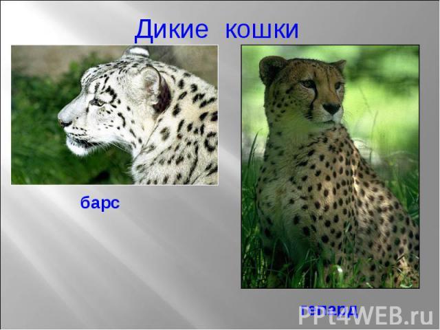 Дикие кошки барс гепард