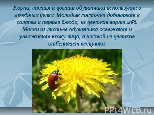 Корни, листья и цветки одуванчика используют в лечебных целях. Молодые листочки добавляют в салаты и первые блюда, из цветков варят мёд. Маски из листьев одуванчика освежают и увлажняют кожу лица, а настой из цветков отбеливает веснушки.