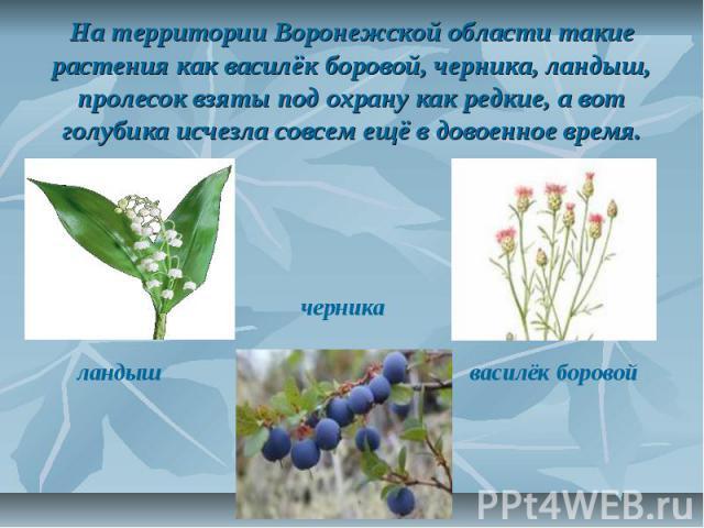На территории Воронежской области такие растения как василёк боровой, черника, ландыш, пролесок взяты под охрану как редкие, а вот голубика исчезла совсем ещё в довоенное время.