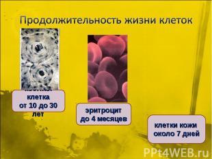 Продолжительность жизни клетоккостная клетка от 10 до 30 лет эритроцит до 4 меся
