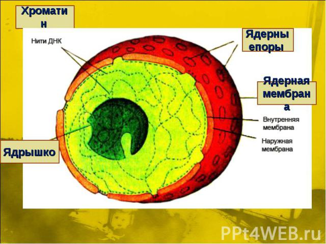 Хроматин Ядерныепоры Ядерная мембрана Ядрышко