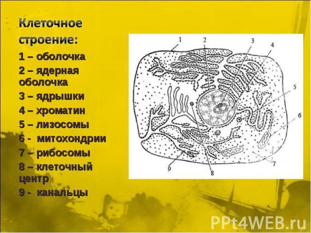 Клеточное строение: 1 – оболочка 2 – ядерная оболочка 3 – ядрышки 4 – хроматин 5 – лизосомы 6 - митохондрии 7 – рибосомы 8 – клеточный центр 9 - канальцы