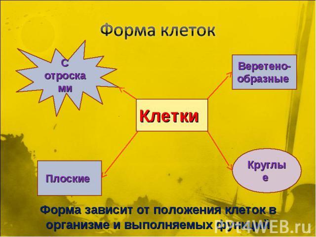 Форма клетокВеретено- образные Форма зависит от положения клеток в организме и выполняемых функций