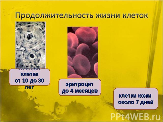 Продолжительность жизни клетоккостная клетка от 10 до 30 лет эритроцит до 4 месяцев клетки кожи около 7 дней
