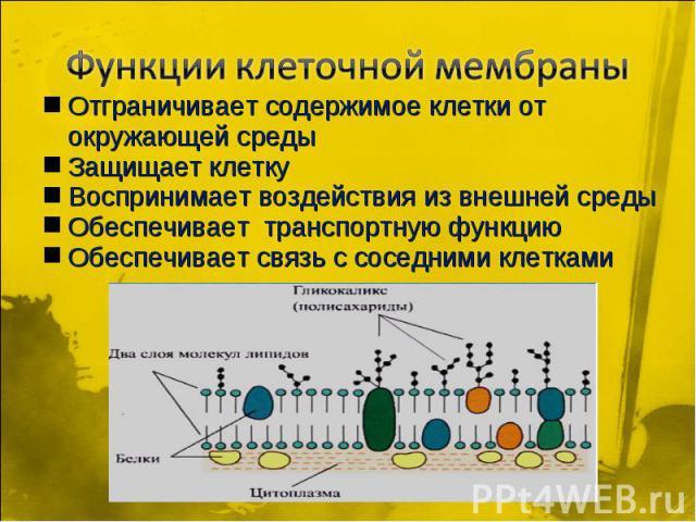 Функции клеточной мембраны Отграничивает содержимое клетки от окружающей среды Защищает клетку Воспринимает воздействия из внешней среды Обеспечивает транспортную функцию Обеспечивает связь с соседними клетками