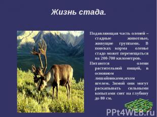 Жизнь стада.Подавляющая часть оленей – стадные животные, живущие группами. В пои