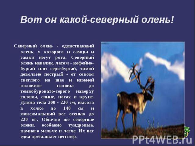 Вот он какой-северный олень! Северный олень - единственный олень, у которого и самцы и самки несут рога. Северный олень невелик, летом - кофейно-бурый или серо-бурый, зимой довольно пестрый - от совсем светлого на шее и нижней половине головы до тем…