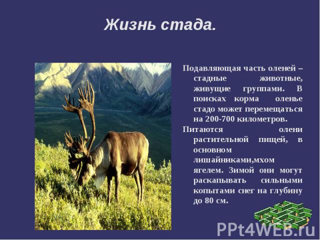 Жизнь стада.Подавляющая часть оленей – стадные животные, живущие группами. В поисках корма оленье стадо может перемещаться на 200-700 километров. Питаются олени растительной пищей, в основном лишайниками,мхом ягелем. Зимой они могут раскапывать силь…