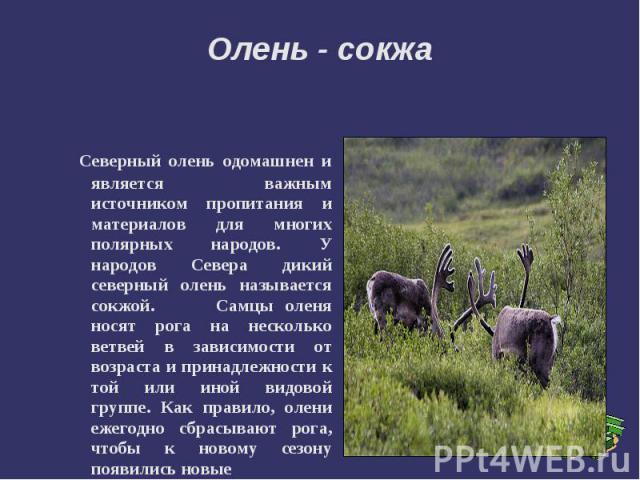 Олень - сокжа Cеверный олень одомашнен и является важным источником пропитания и материалов для многих полярных народов. У народов Севера дикий северный олень называется сокжой. Самцы оленя носят рога на несколько ветвей в зависимости от возраста и …