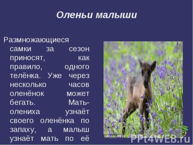 Оленьи малышиРазмножающиеся самки за сезон приносят, как правило, одного телёнка. Уже через несколько часов оленёнок может бегать. Мать- олениха узнаёт своего оленёнка по запаху, а малыш узнаёт мать по её голосу.