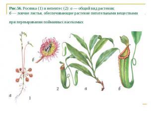 Рис.56. Росянка (1) и непентес (2): а — общий вид растения; б — ловчие листья, о