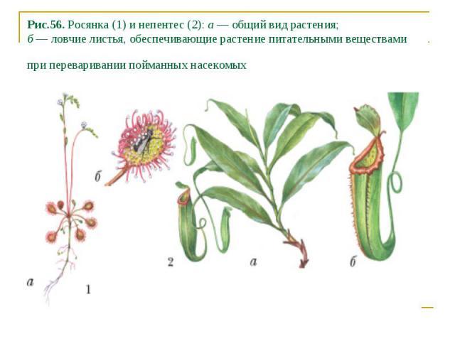 Рис.56. Росянка (1) и непентес (2): а — общий вид растения; б — ловчие листья, обеспечивающие растение питательными веществами при переваривании пойманных насекомых