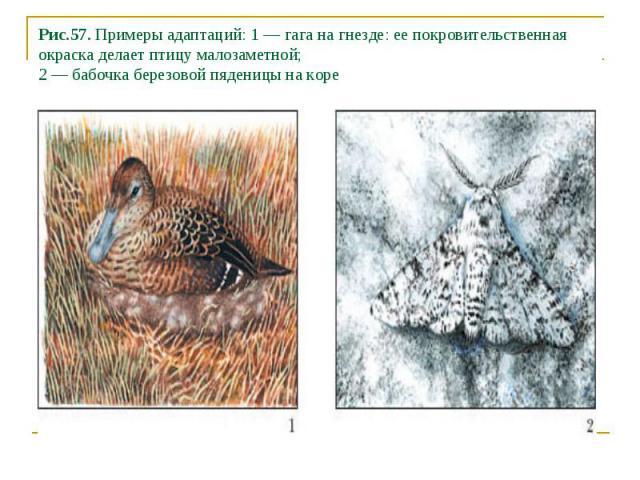 Рис.57. Примеры адаптаций: 1 — гага на гнезде: ее покровительственная окраска делает птицу малозаметной; 2 — бабочка березовой пяденицы на коре