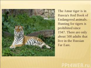 The Amur tiger is in Russia's Red Book of Endangered animals. Hunting for tigers