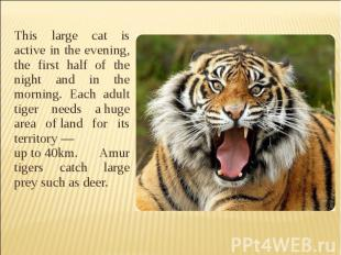 This large cat is active in the evening, the first half of the night and in the
