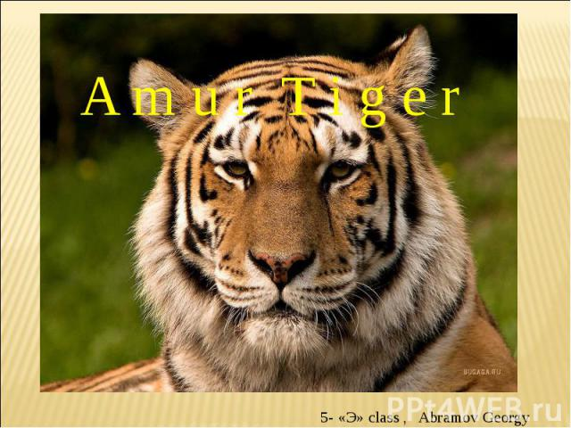 Amur Tiger 5- «Э» class , Abramov Georgy
