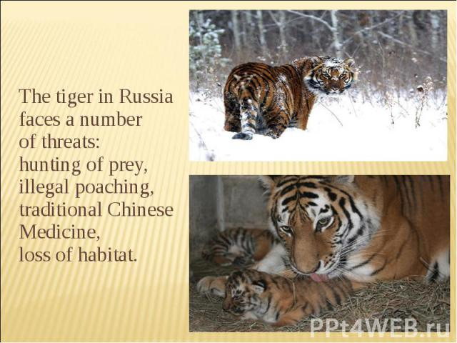 The tiger in Russia faces a number of threats:  hunting of prey, illegal poaching, traditional Chinese Medicine, loss of habitat.