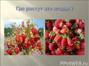 Где растут эти ягоды ?