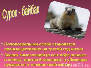 Сурок - байбак Половозрелыми особи становятся преимущественно на третий год жизн