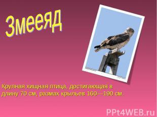 Змееяд Крупная хищная птица, достигающая в длину 70 см, размах крыльев 160—190 с