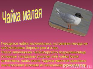 Чайка малая Гнездится чайка колониальна, устраивая гнезда на заболоченных берега