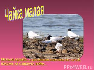 Чайка малая Мельче голубя, с размахом крыльев 60-70 см, похожа на озерную чайку.